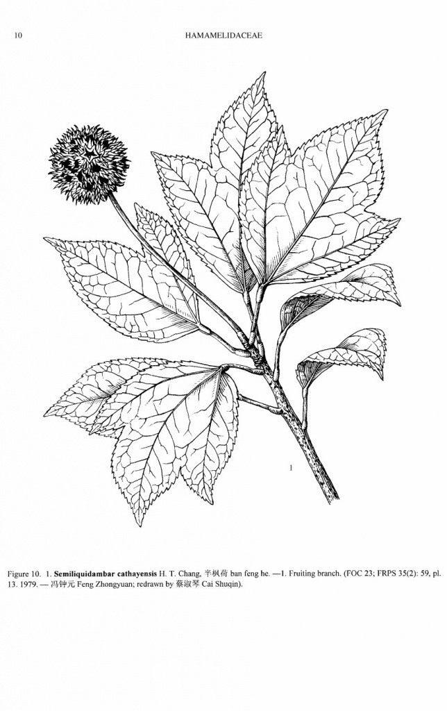 Semiliquidambar-cathayensis
