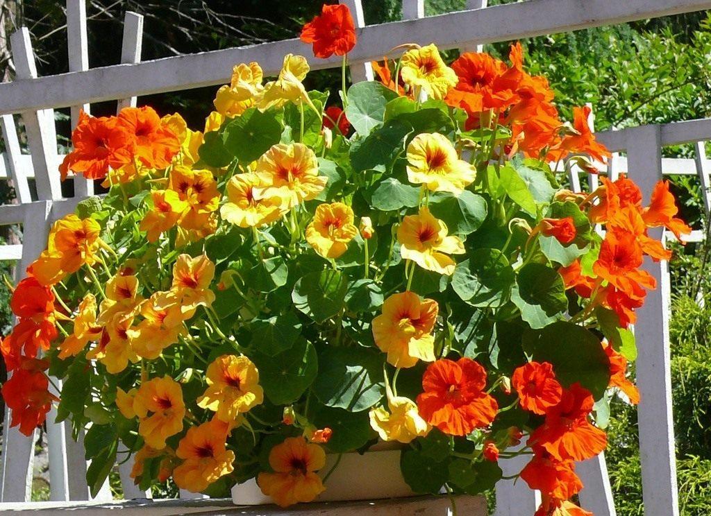 Настурция — это не только цветок, но и полезное растение для сада