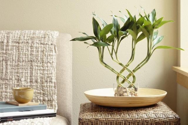 Драцена Сандера, или «счастливый бамбук», или «бамбук счастья»