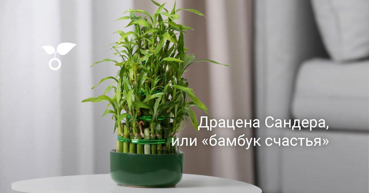 Бамбук лаки спираль уход в домашних условиях