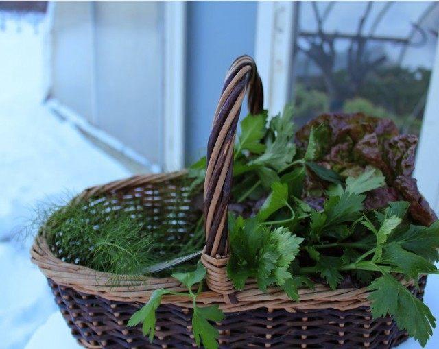 Зелень, выращенная в теплице зимой