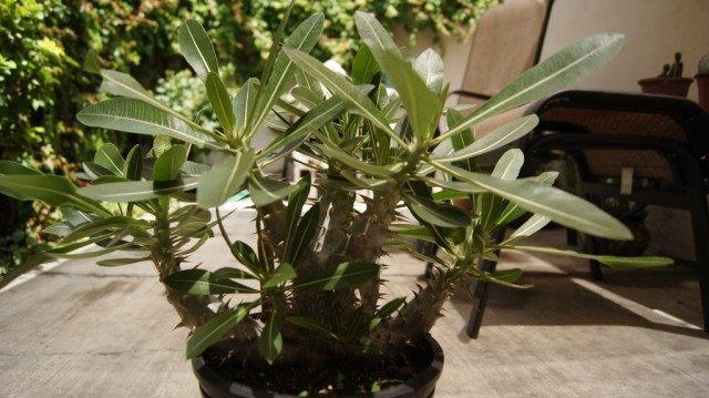 Пахиподиум хоромбензе (pachypodium horombense)
