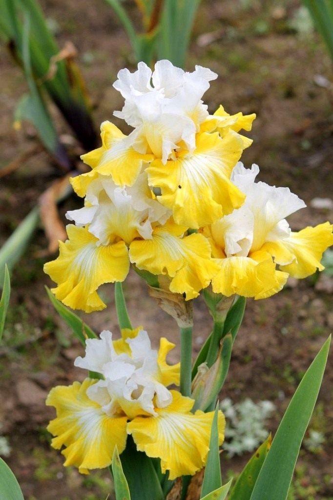 tall-Bearded-Iris-Joviality