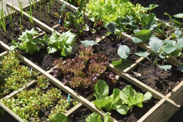 Грядка салатов
