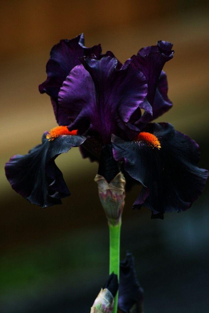 American-Hybrid-Iris-Draculas-Kiss