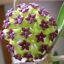 Хойя коричниколистная (Hoya cinnamomifolia)