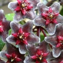Хойя пубикаликс (Hoya pubicalyx)