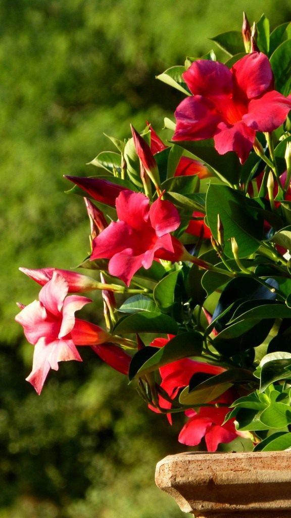 Среди общеупотребительных названий растения — бразильский бальзамин, бразильский жасмин, чилийский жасмин, боливийская роза, мексиканское дерево любви