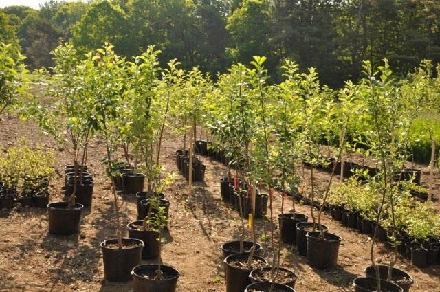 Саженцы фруктовых деревьев и ягодных кустарников лучше всего приобретать у проверенных производителей