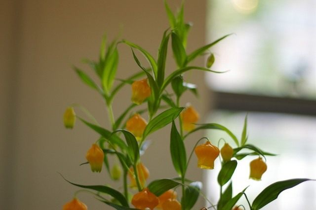 Cандерсония оранжевая