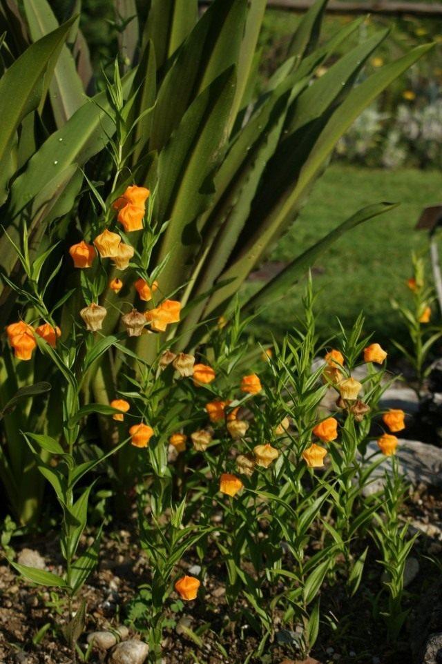 Сандерсония оранжевая