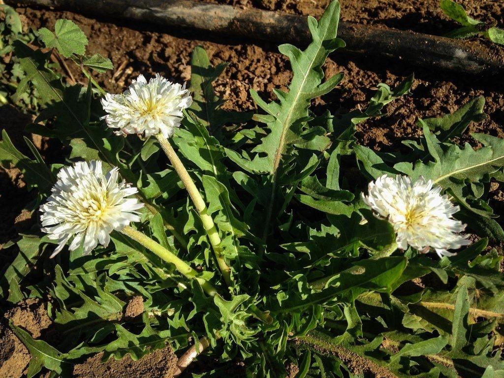 Taraxacum-albidum