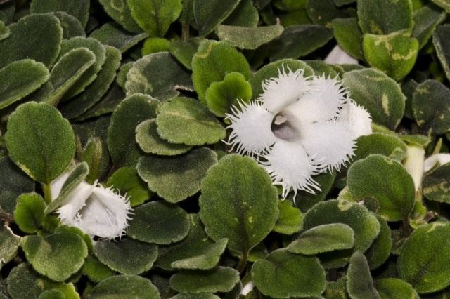 Эписция гвоздикоцветная (Episcia dianthiflora)
