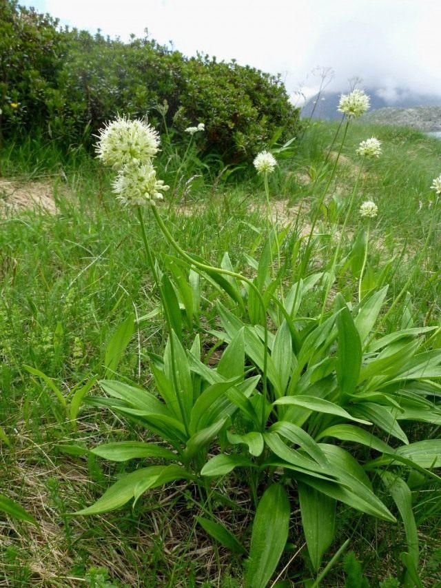 Лук победоносный, или Лук победный (Allium victorialis). Так же называют черемшой, или колбой.