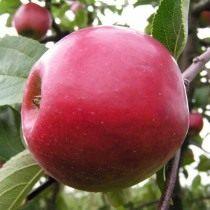 Яблоко сорт Анис алый