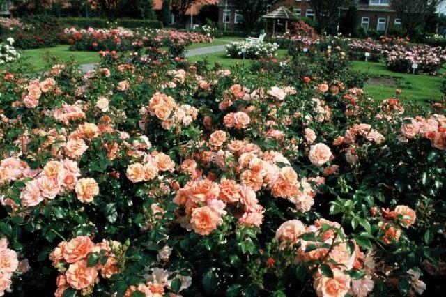 Роза сорт 'Apricola'