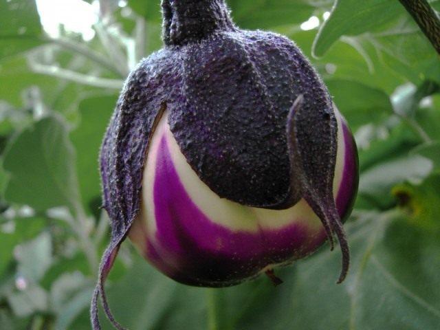 Своевременная защита растений баклажана от болезней и вредителей залог хорошего урожая