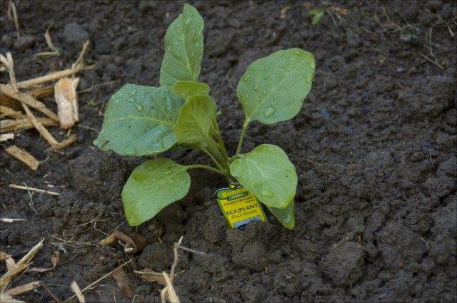 Для высадки баклажанов в грунт выбирайте здоровые экземпляры рассады, без признаков поражения болезнями