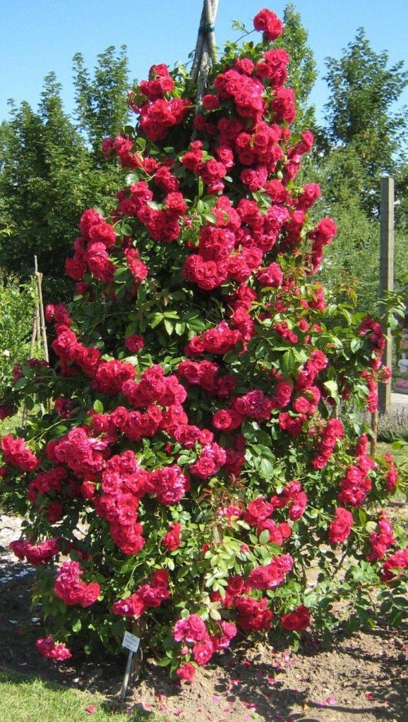 Роза сорт 'Flammentanz'
