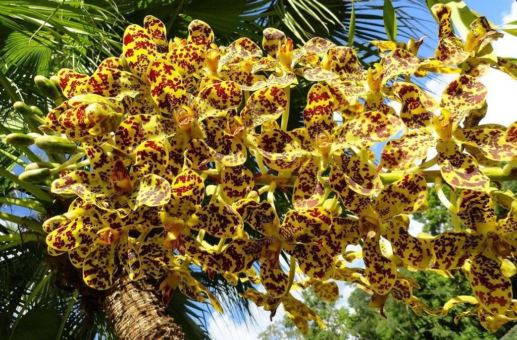 Grammatophyllum-speciosum-2