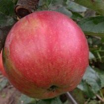 Яблоко сорт Айдаред