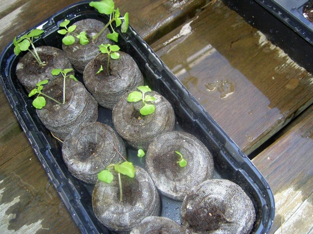 посев семян бальзамина