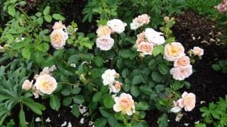 Роза сорт 'Isarperle'