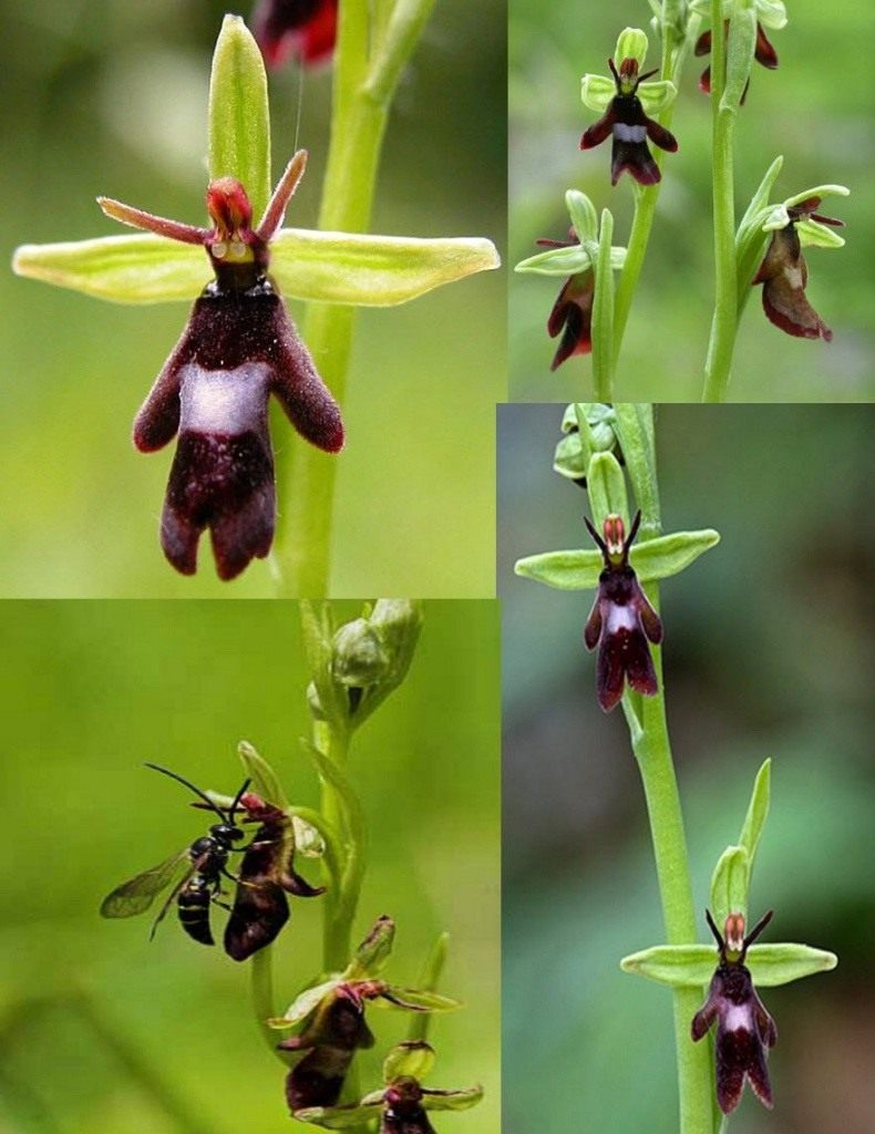 Ophrys-insectifera