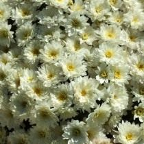 "Сорт мелкоцветковой хризантемы ""Paradiso White"""
