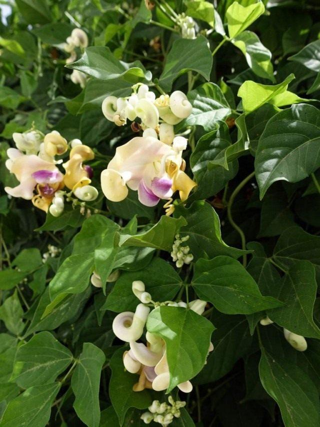 Вигна Каракалла в народе имеет другие названия: «виноградная улитка», «улиточный виноград», «цветок-штопор»