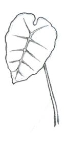 caolcasia