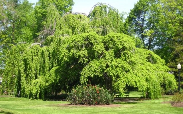 Бук европейский, или Бук лесной (Fagus sylvatica)