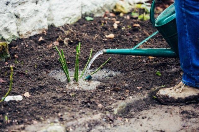 Если вы планируете весной высаживать новые розы, не откладывайте подготовку почвы к посадке