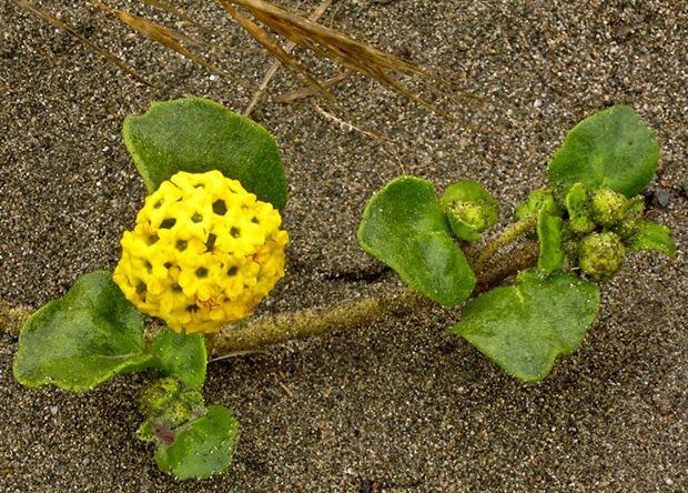 1Abronia-latifolia