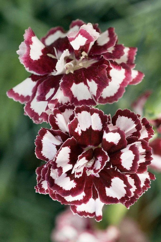 Dianthus-3