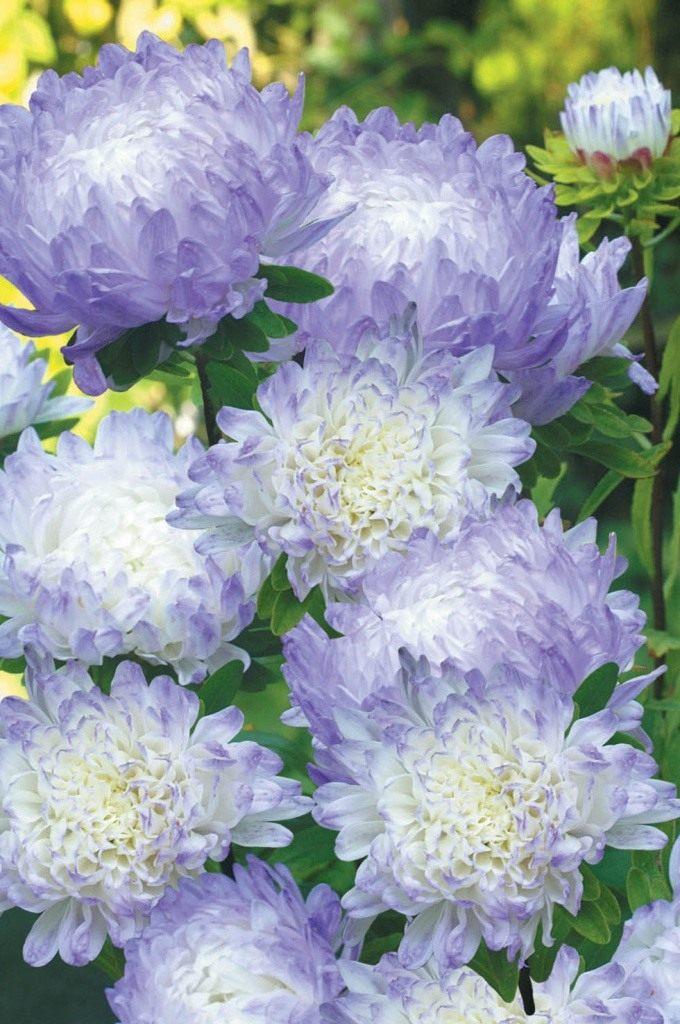 Duchess-Blue-Ice