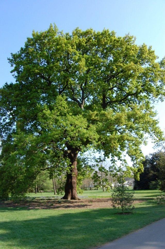 Дуб скальный (Quercus petraea)