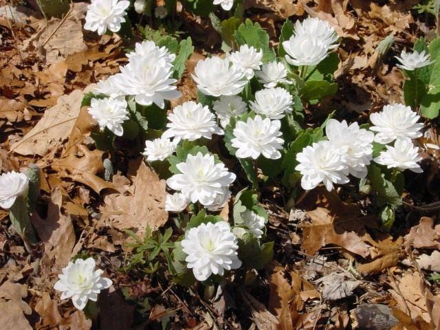 Сангвинария канадская, сорт «Мультиплекс» (Sanguinaria canadensis 'Multiplex')