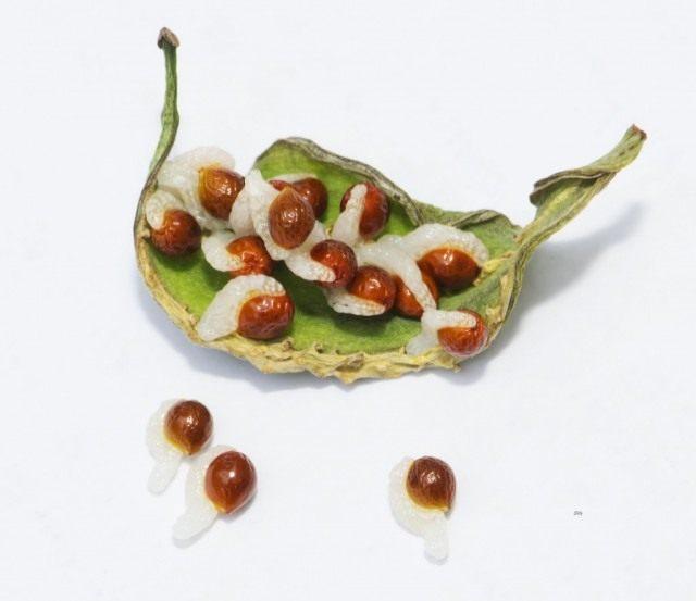 Семена сангвинарии