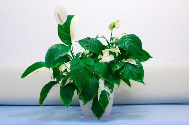 Спатифиллум, или Спатифиллюм «Пикассо» (Spathiphyllum 'Picasso')