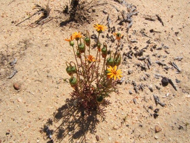 Урсиния разноцветковая (Ursinia anthemoides subsp. versicolor)