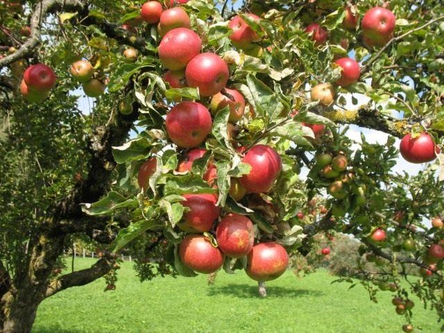 Яблоки на ветвях