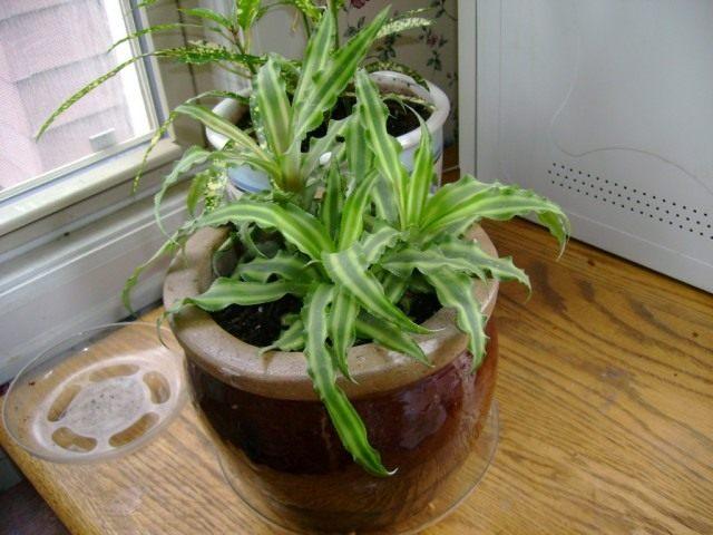 Криптантус бесстебельный (Cryptanthus acaulis)