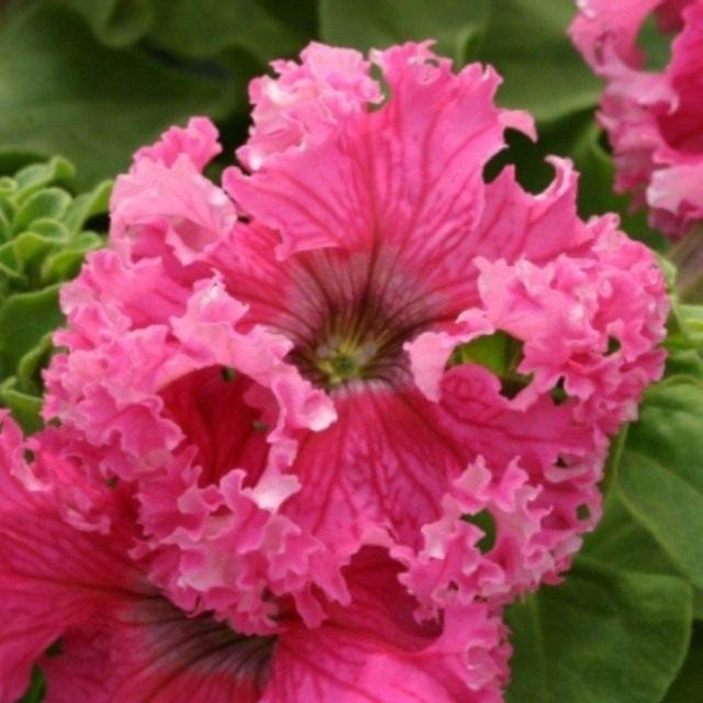 Цветок петунии фриллитунии розовой