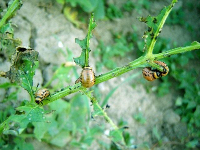 Личинки колорадского жука на картофеле