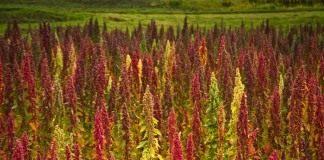 Киноа, или Кинва (Chenopodium quinoa)