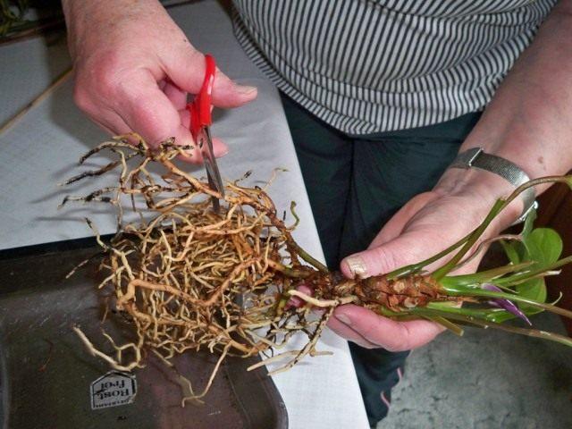 Обрежьте и обработайте все больные корни пересаживаемого комнатного растения