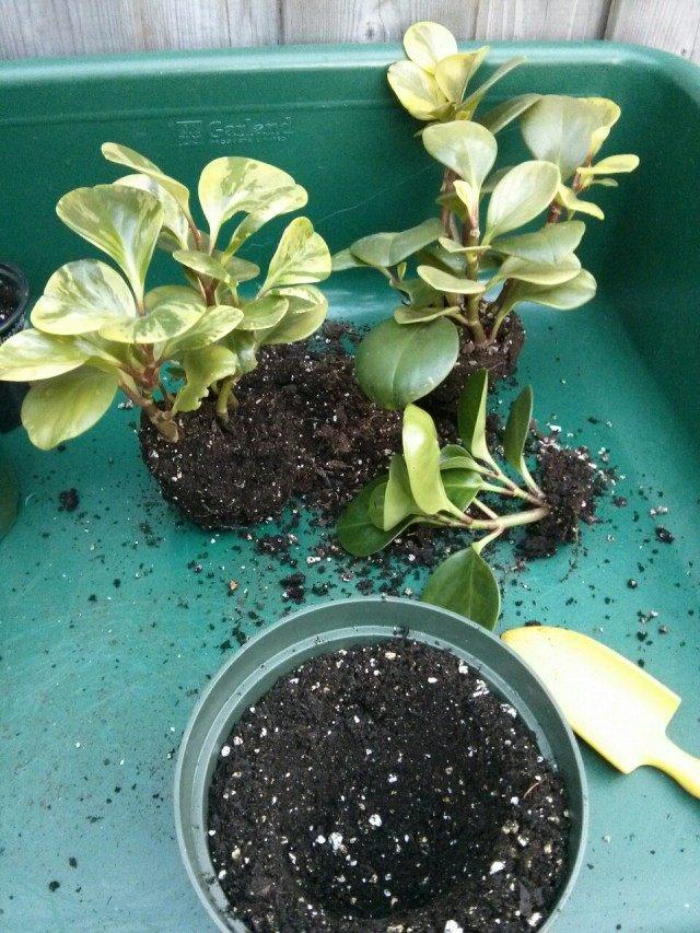 Пересадка и разделение разросшегося комнатного растения