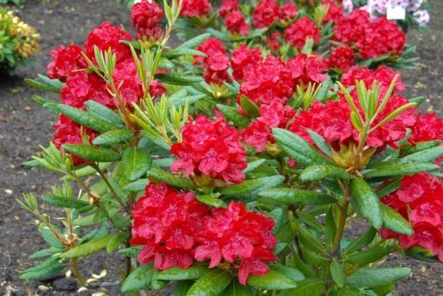 Рододендрон гибридный, красный, сорт 'Busuki'