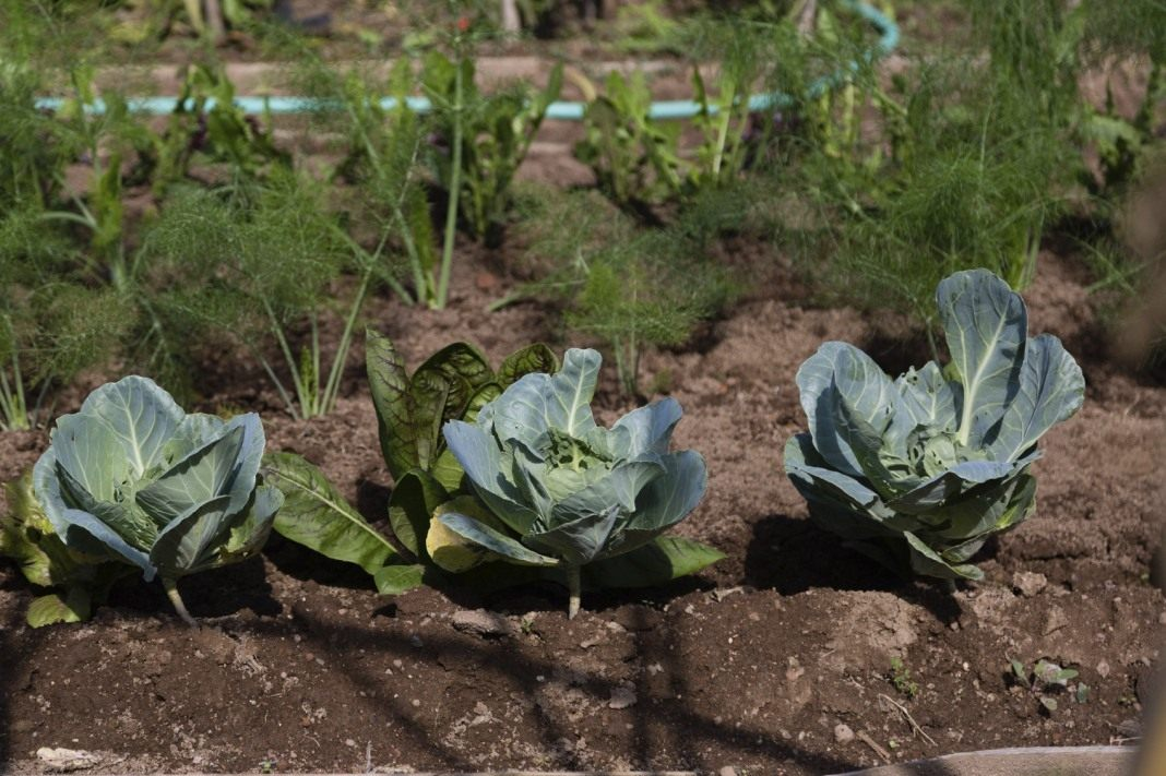 выращивание цветной капусты в домашних условиях
